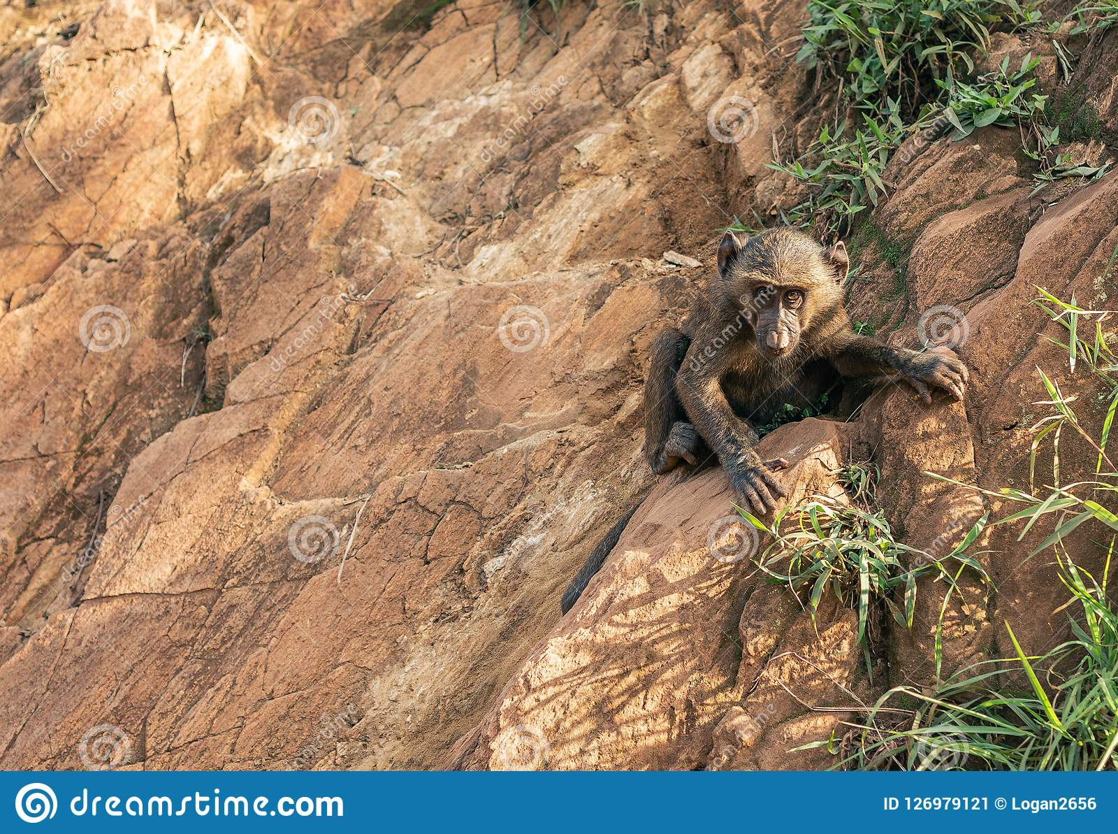 Young baboon monkey animal climbing and clinging onto rocks by the Nile River in Ethiopia Africa.
