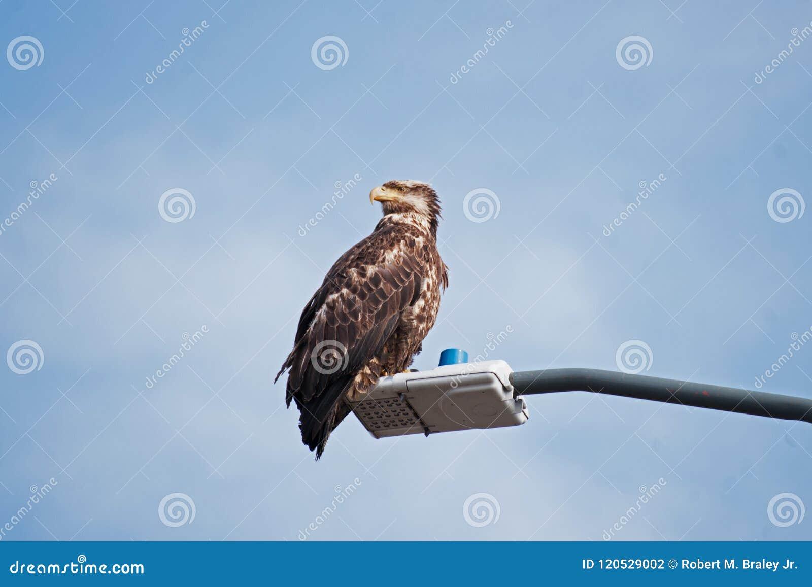 Young Bald Eagle Sand Point Alaska