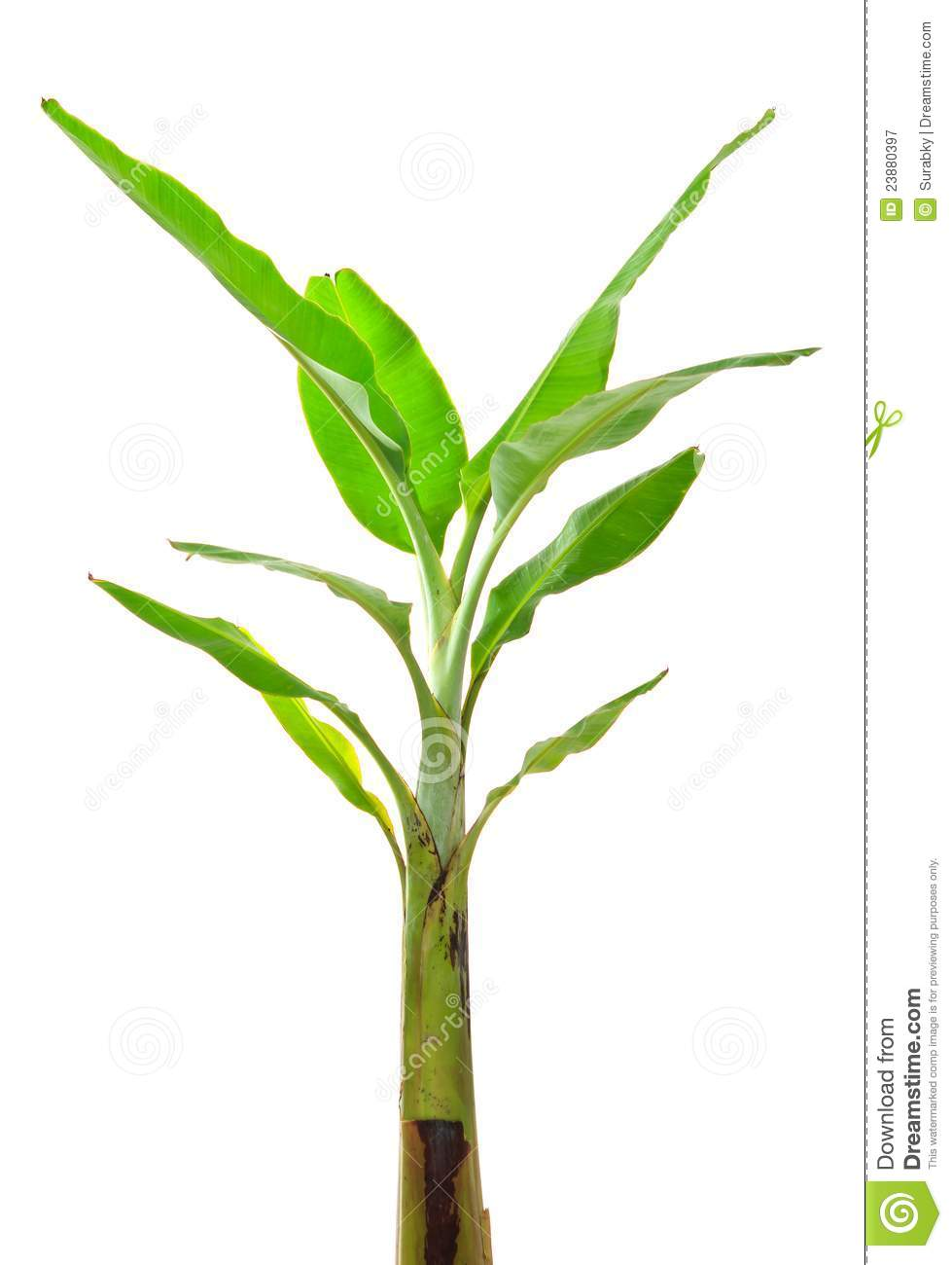 Young Banana Tree Royalty Free Stock Photography Image