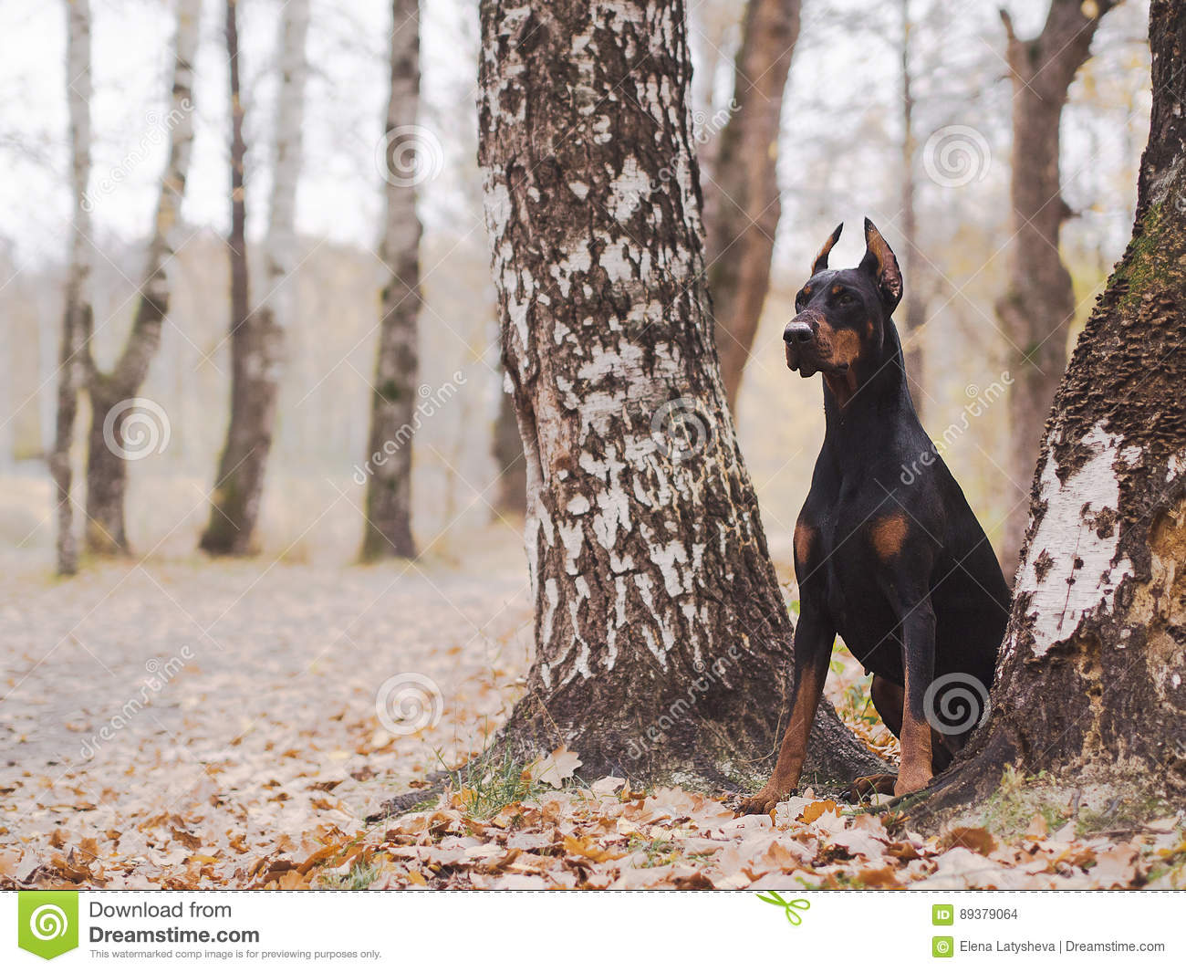 Young beautiful doberman and malinois dog walking in park in summer sunny holiday