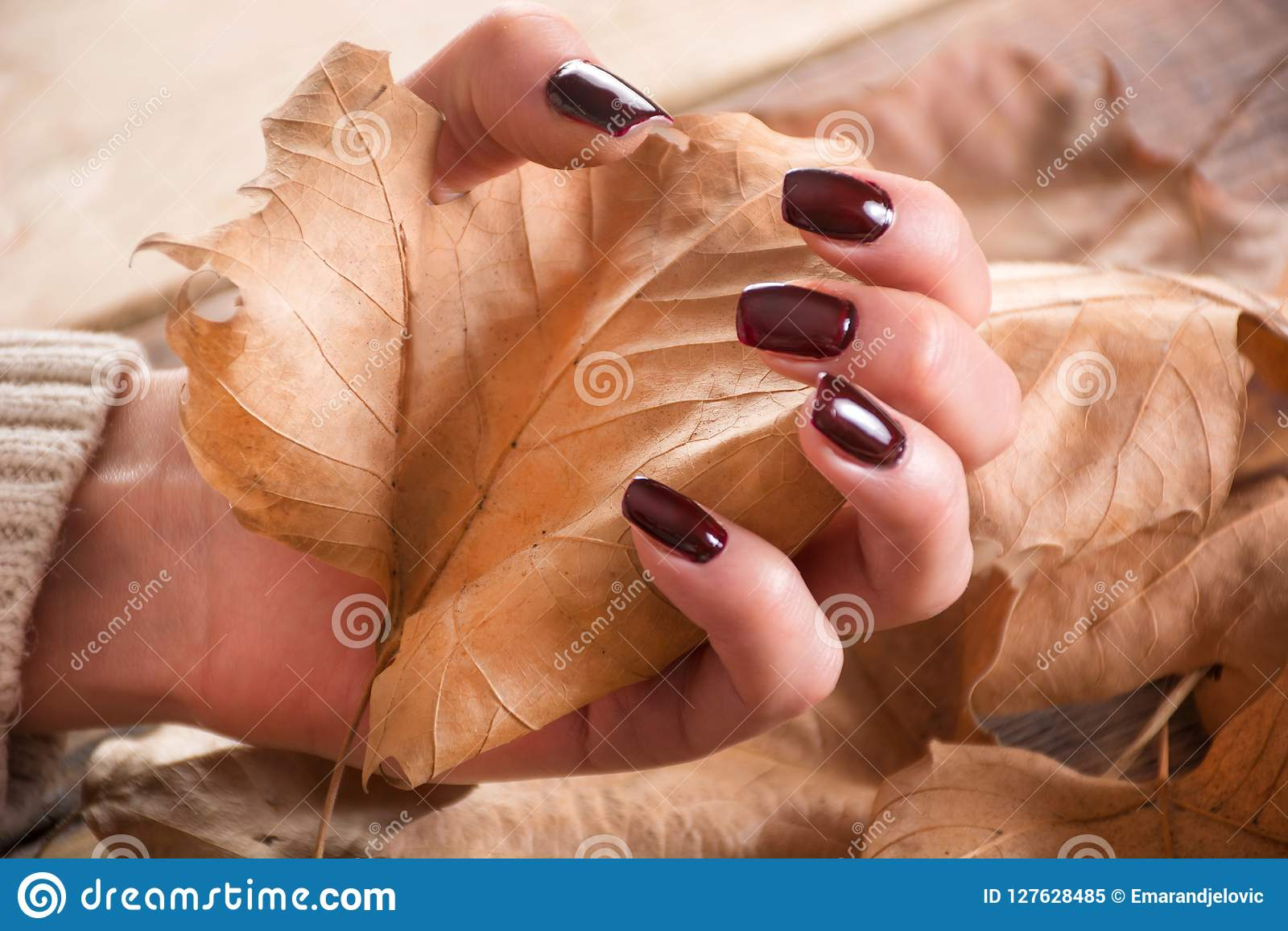 Woman Hands With Brown Gel Nails Polish Holds Dry Fall Leaf On ...