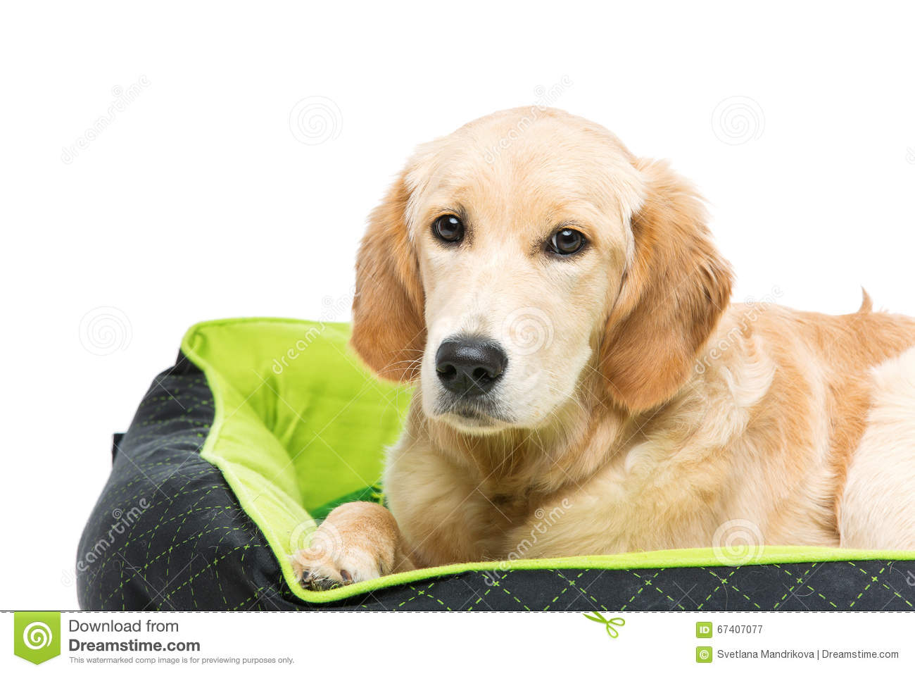 Young Beautiul Golden Retriever Dog Stock Image Image Of