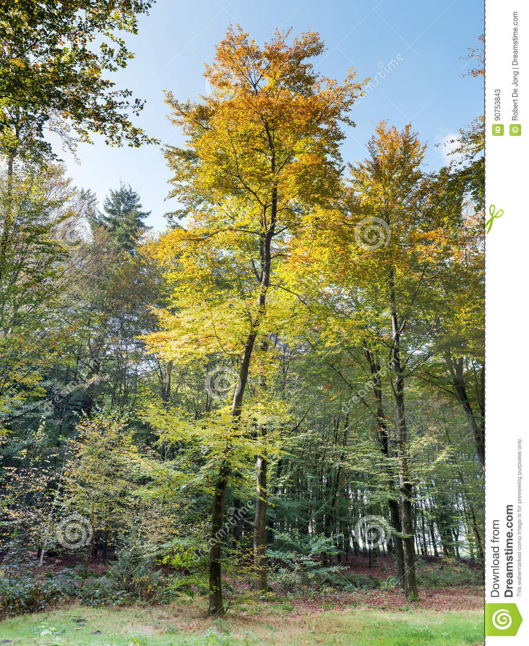 Young Beech Tree In Fall Colors Stock Image - Image of europe ...