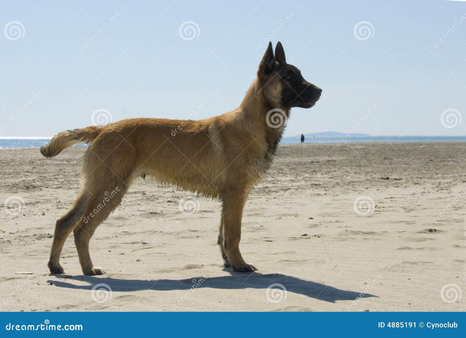 Belgian Shepherd Malinois Stock Photo Download Belgian Sheepdog | Dog ...