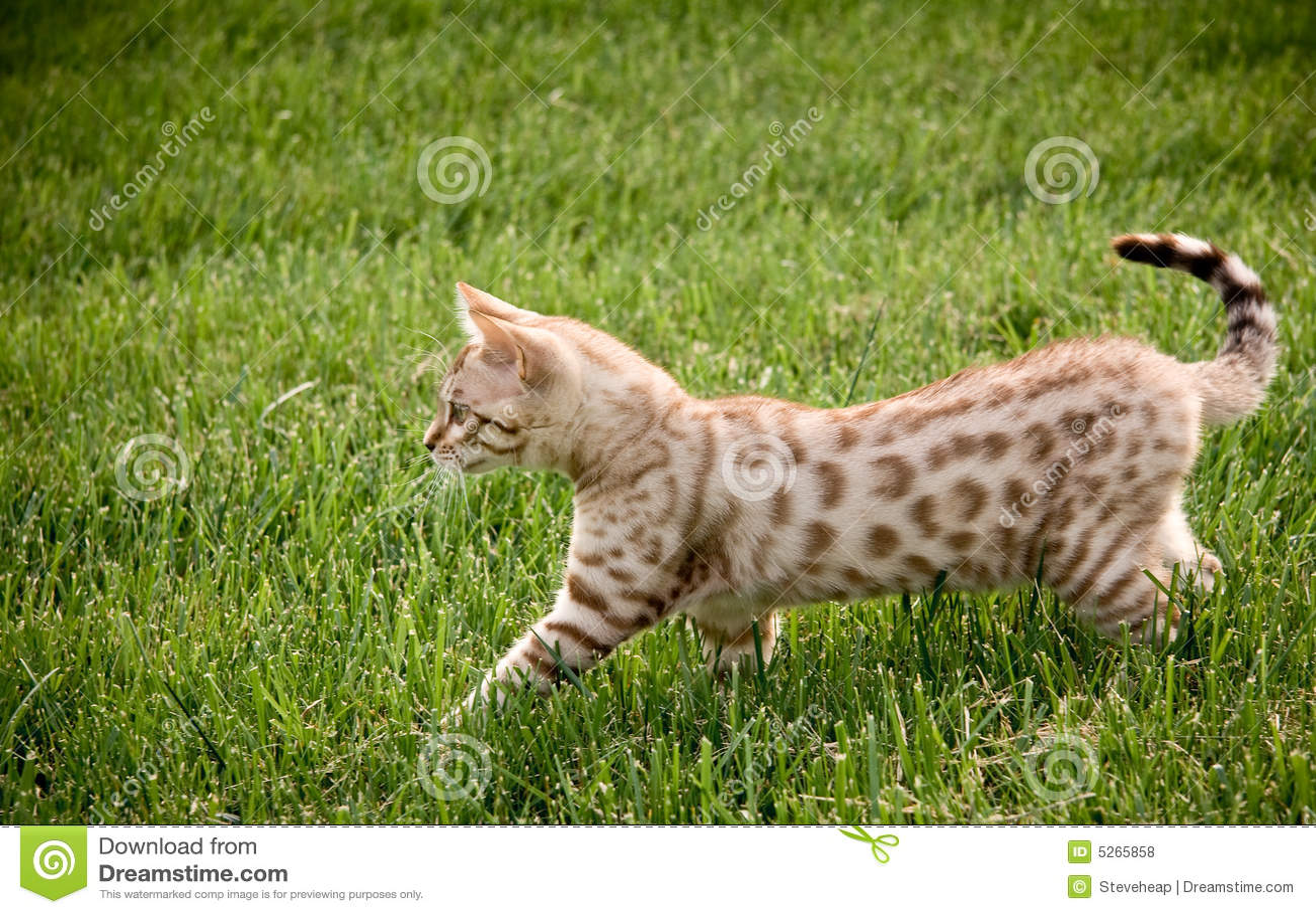 Young bengal kitten