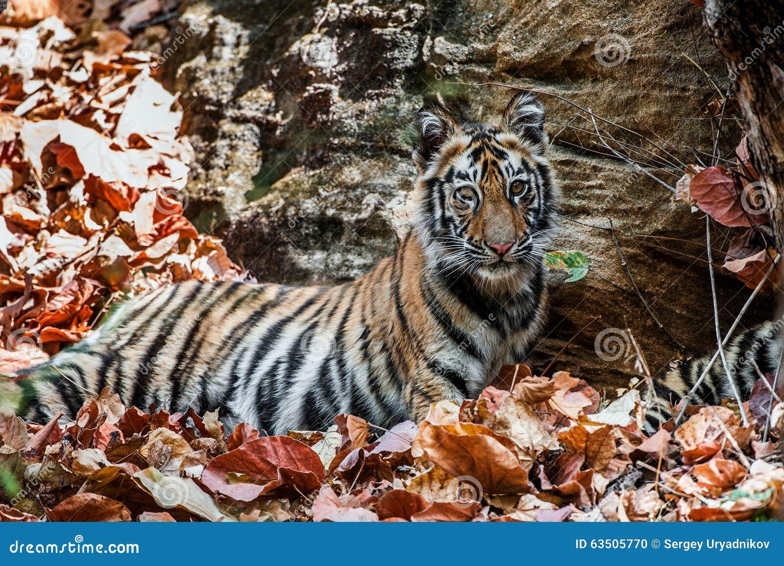 Young Bengal tiger in natural habitat. The Bengal (Indian) tiger Panthera tigris tigris.