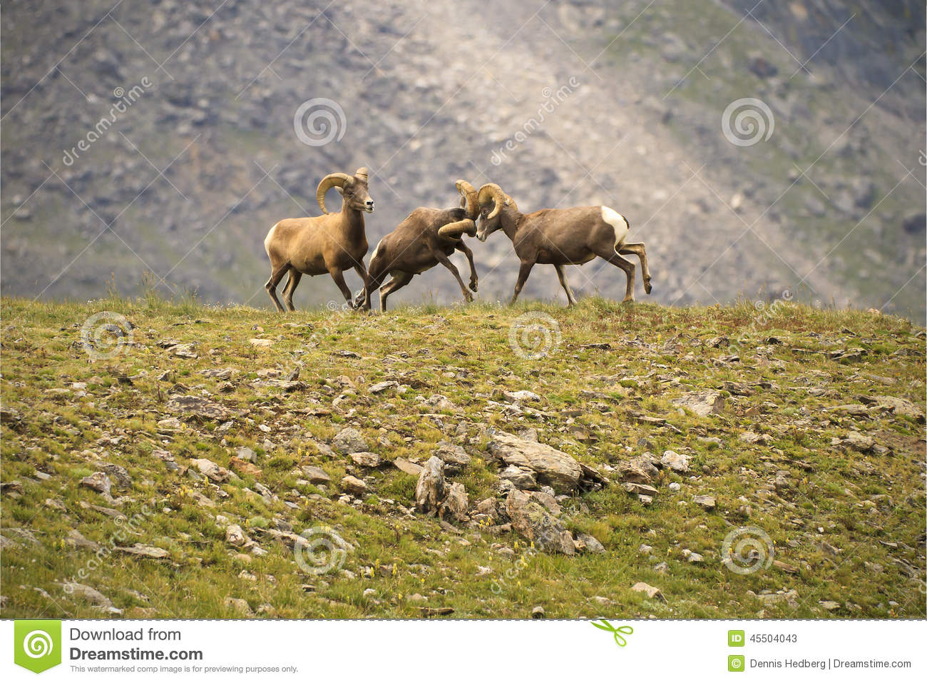 Three Young Bighorn Sheep Sparring On A Mountainside In The Colorado Rockies