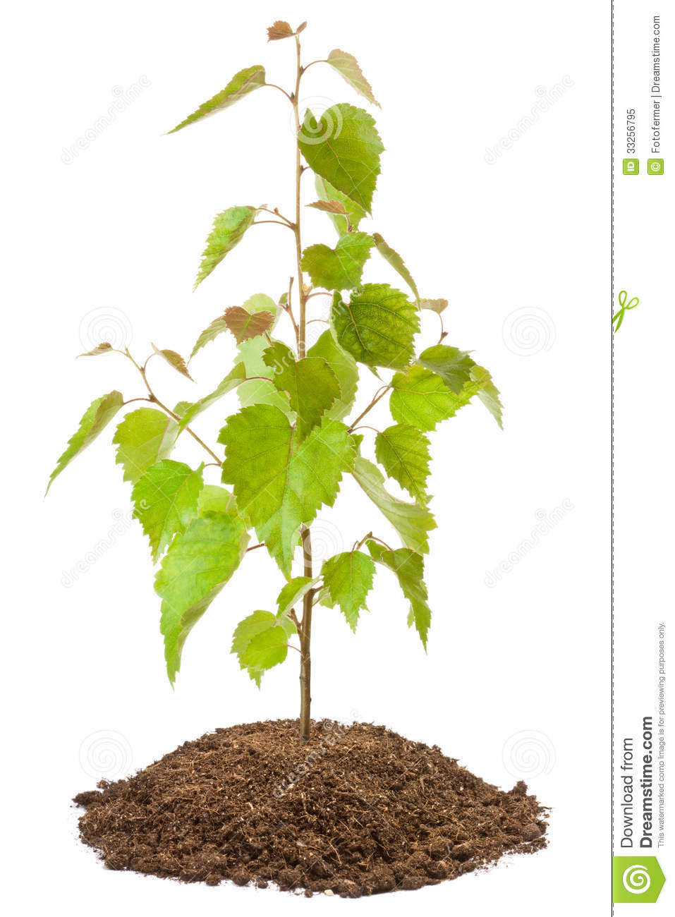 Young birch sapling royalty free stock photo image 33256795 for Tree sapling