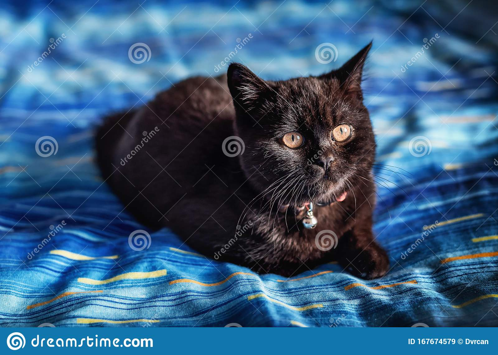 Young Black British Shorthair Cat Breed Stock Image Image Of Closeup Small 167674579