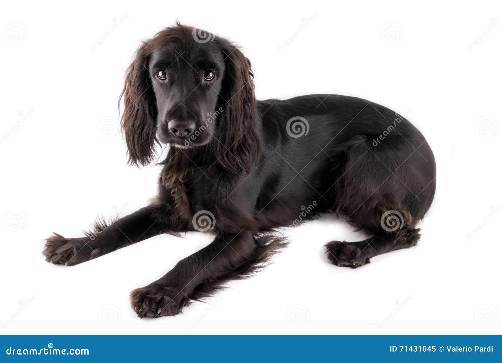 Young black cocker spaniel