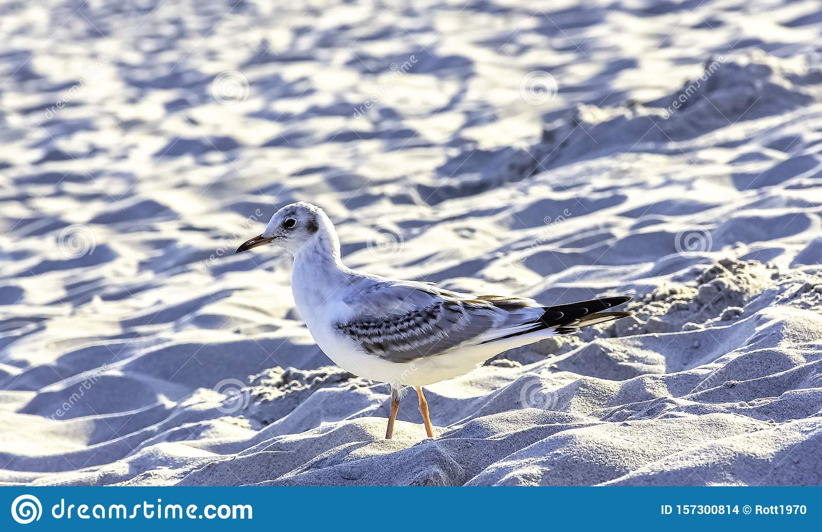 Young black-headed gull in winter plumage on Polish beach