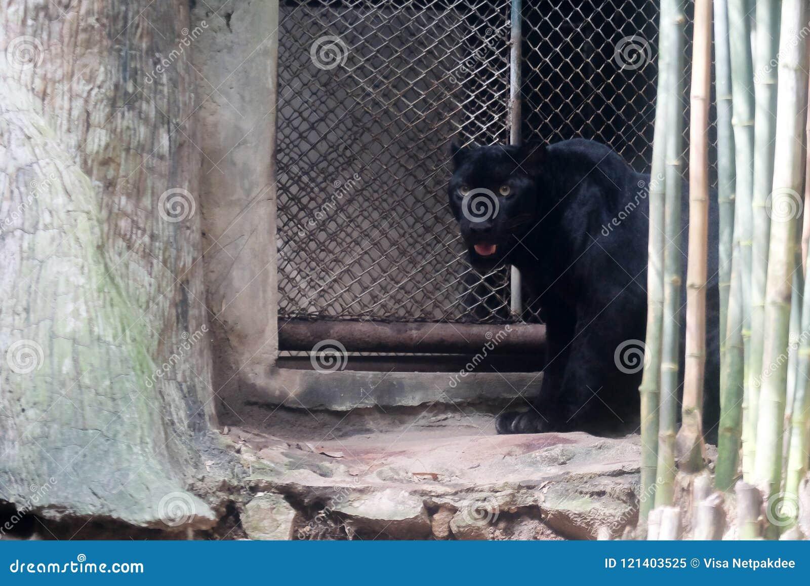 Young black jaguar at zoo