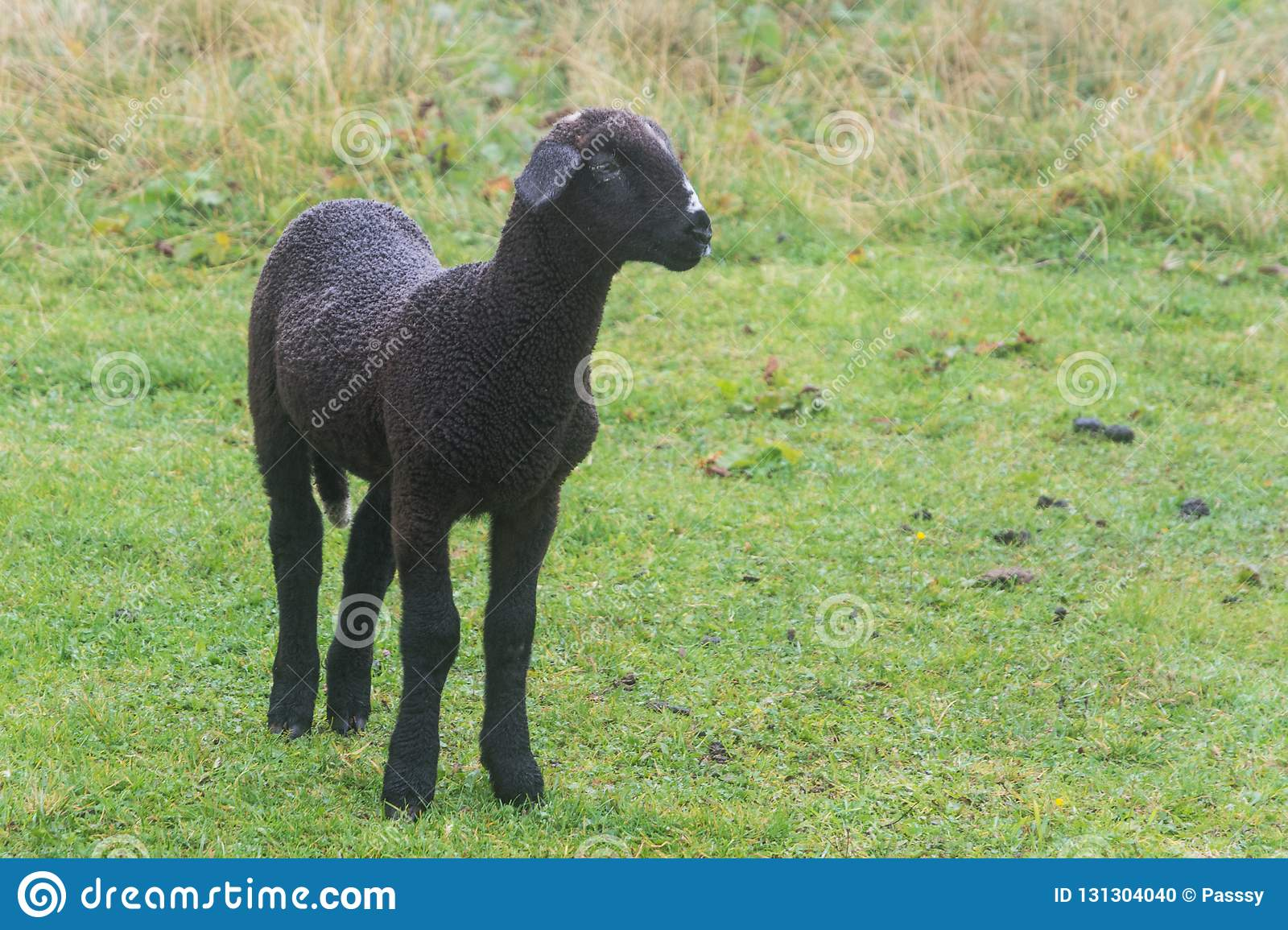 Young black lamb on pasture