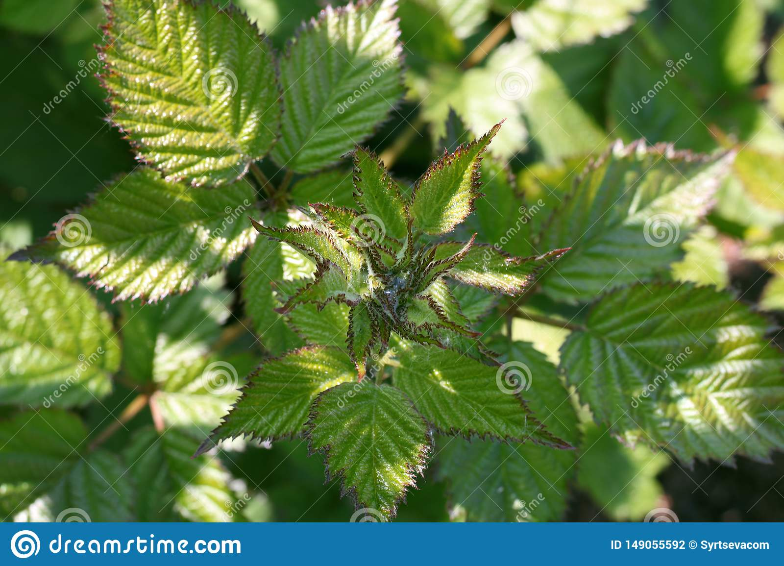 Young BlackBerry leaves close-up in the garden