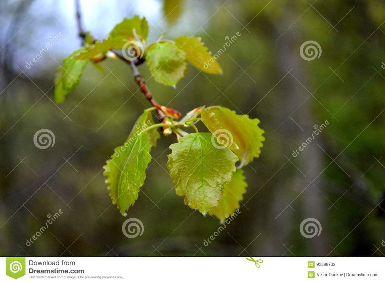 Young blossoming leaves of a birch on a park background