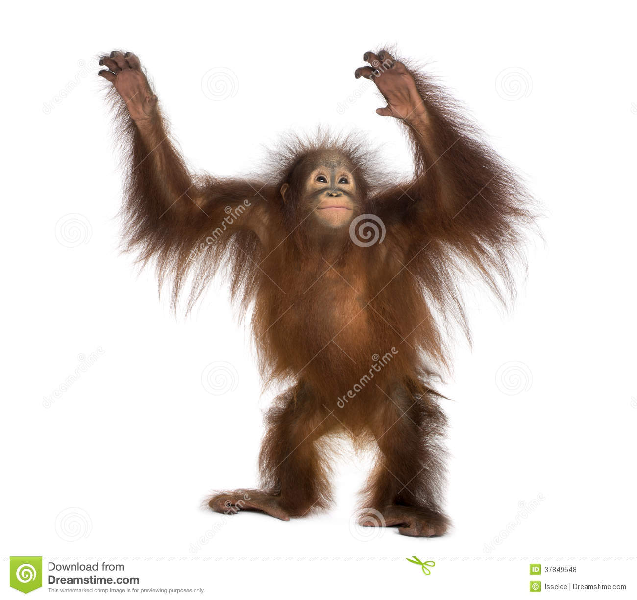 Royalty Free Stock Photos: Young Bornean orangutan standing, reaching ...