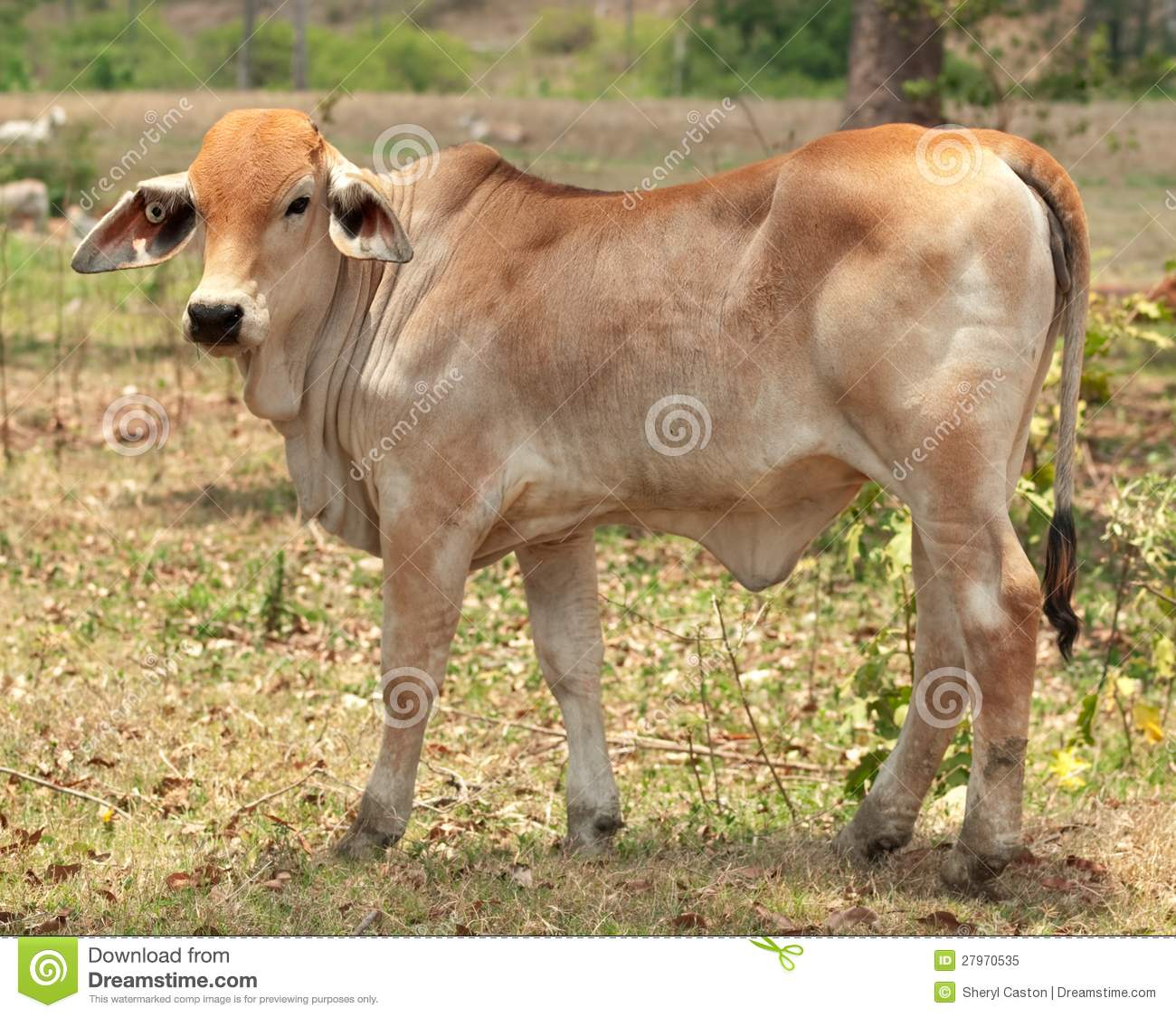 Young brahman calf for beef cattle
