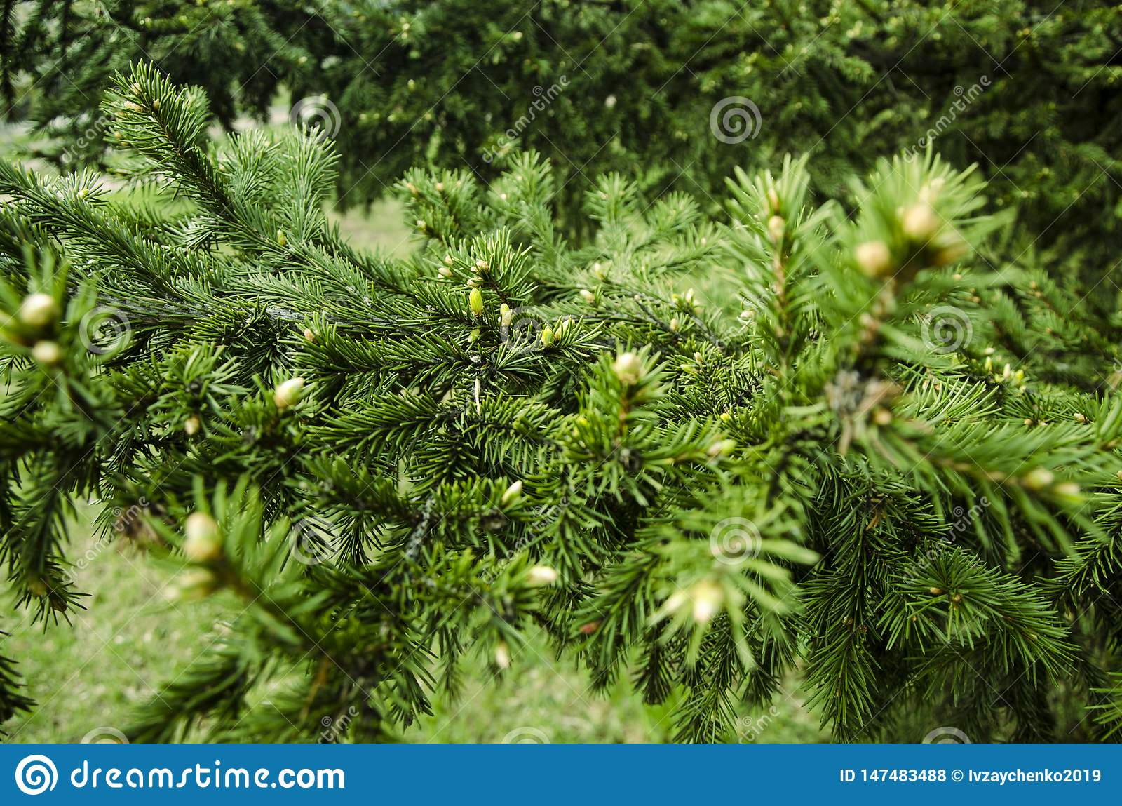 Young branches ate spruce buds and young spruce needles against