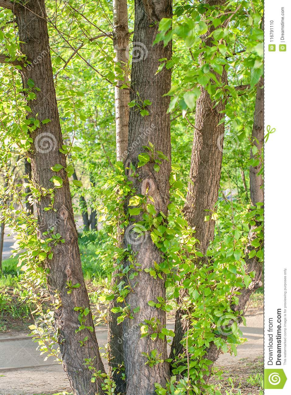 Young branches with green sunlit leaves on old poplar tree trunk at summer sunny day in park