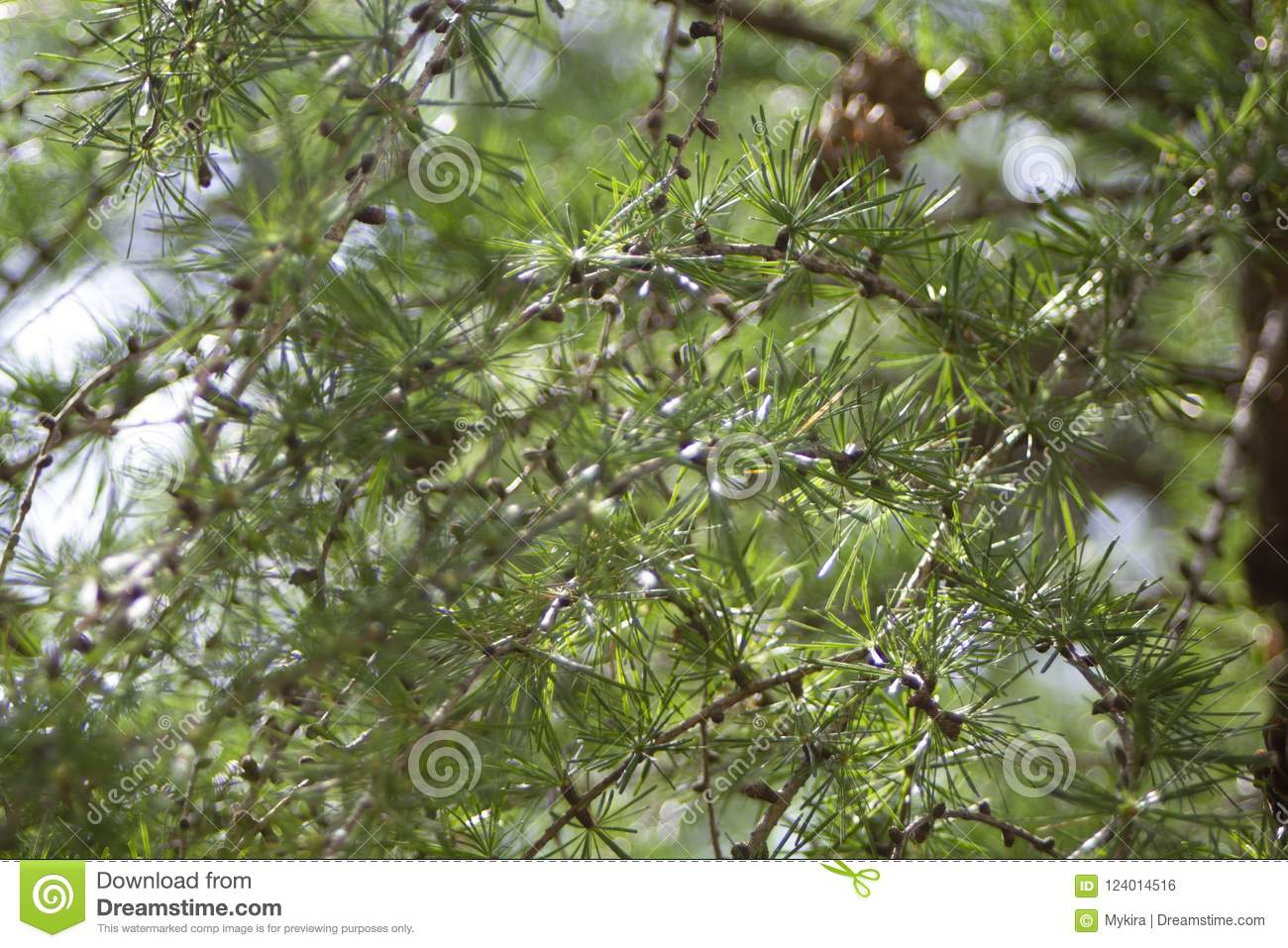 Download Young Branches Of Siberian Larch. Summer Day Light Stock Photo - Image of leaves, plant: 124014516