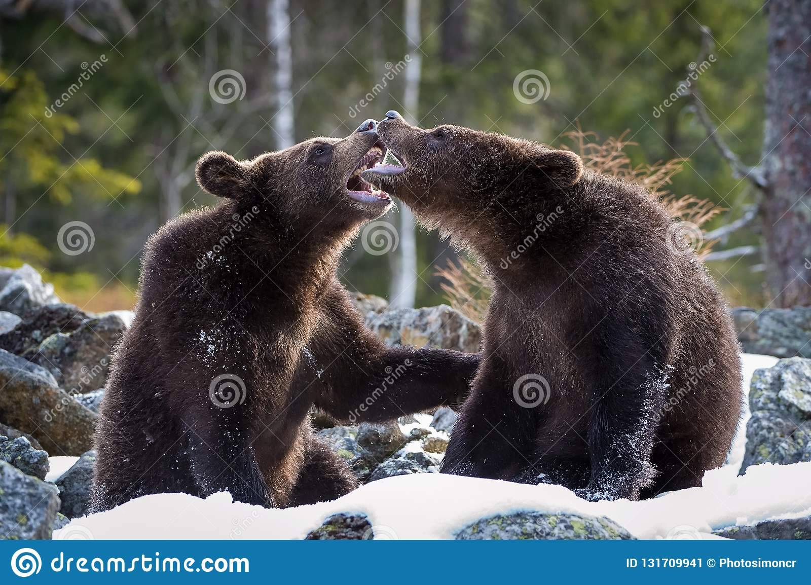 The young Broown Bears, Ursus arctos is looking what to do. Standing young bears are fighting or playing in the forest. In the