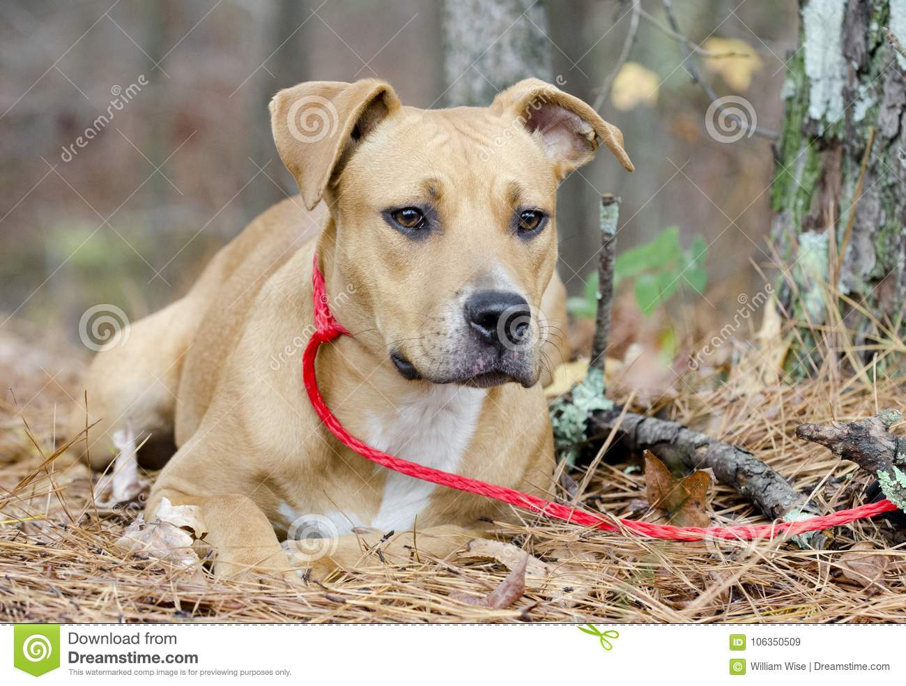 Young Brown American Pitbull Terrier Boxer Mixed Breed Dog ...