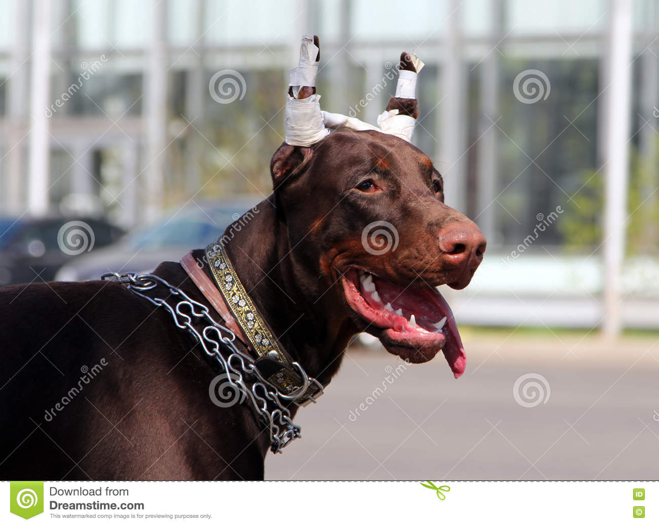 Young Brown Doberman Dog With Cropped Ears Stock Photo Image Of