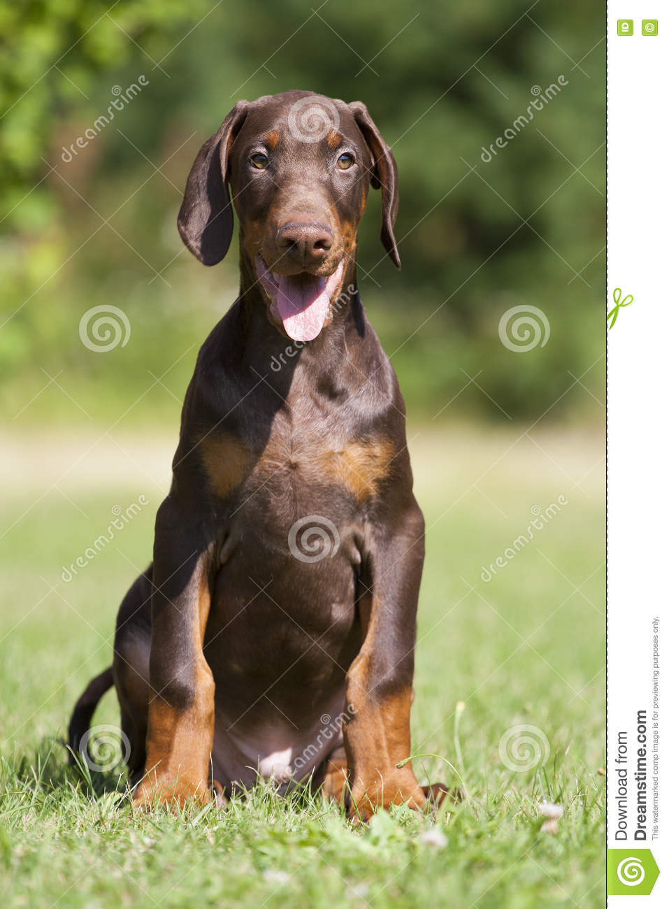 1 790 Brown Doberman Puppy Photos Free Royalty Free Stock Photos From Dreamstime