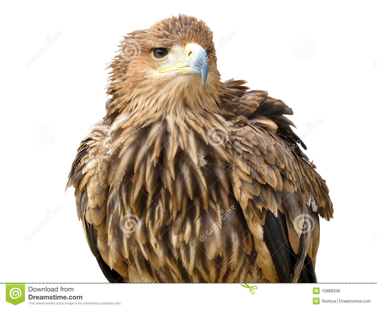 young brown eagle sitting on a support stock photo image of cutout