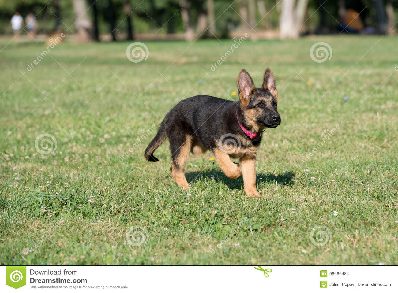 Young Brown German Shepherd Puppy Dog On The Green Grass Stock Photo Image Of Jump Puppy 96666484