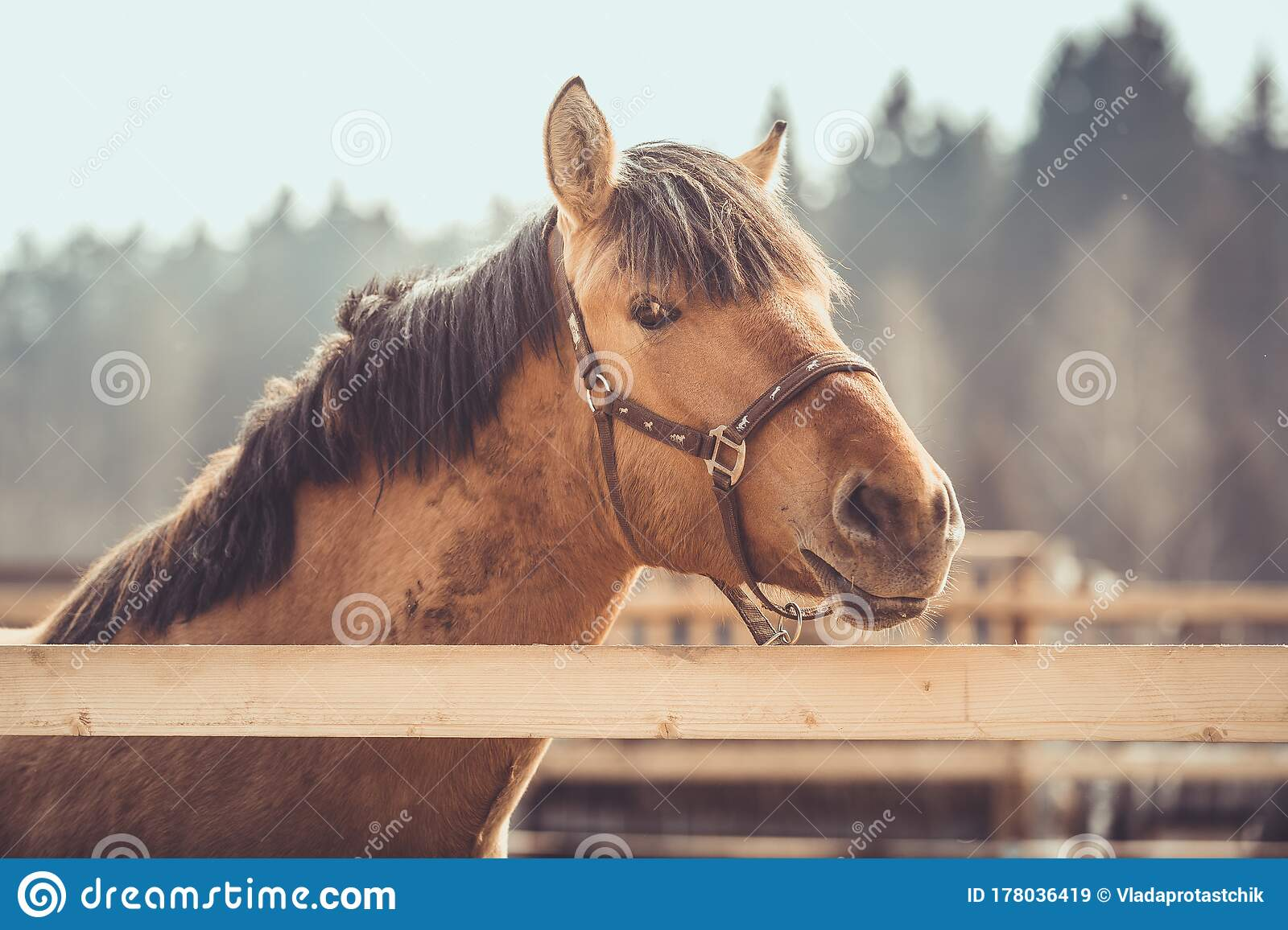 Young Buckskin Draft Horse In Halter On Paddock In Daytime Stock Image Image Of Draft Horses 178036419
