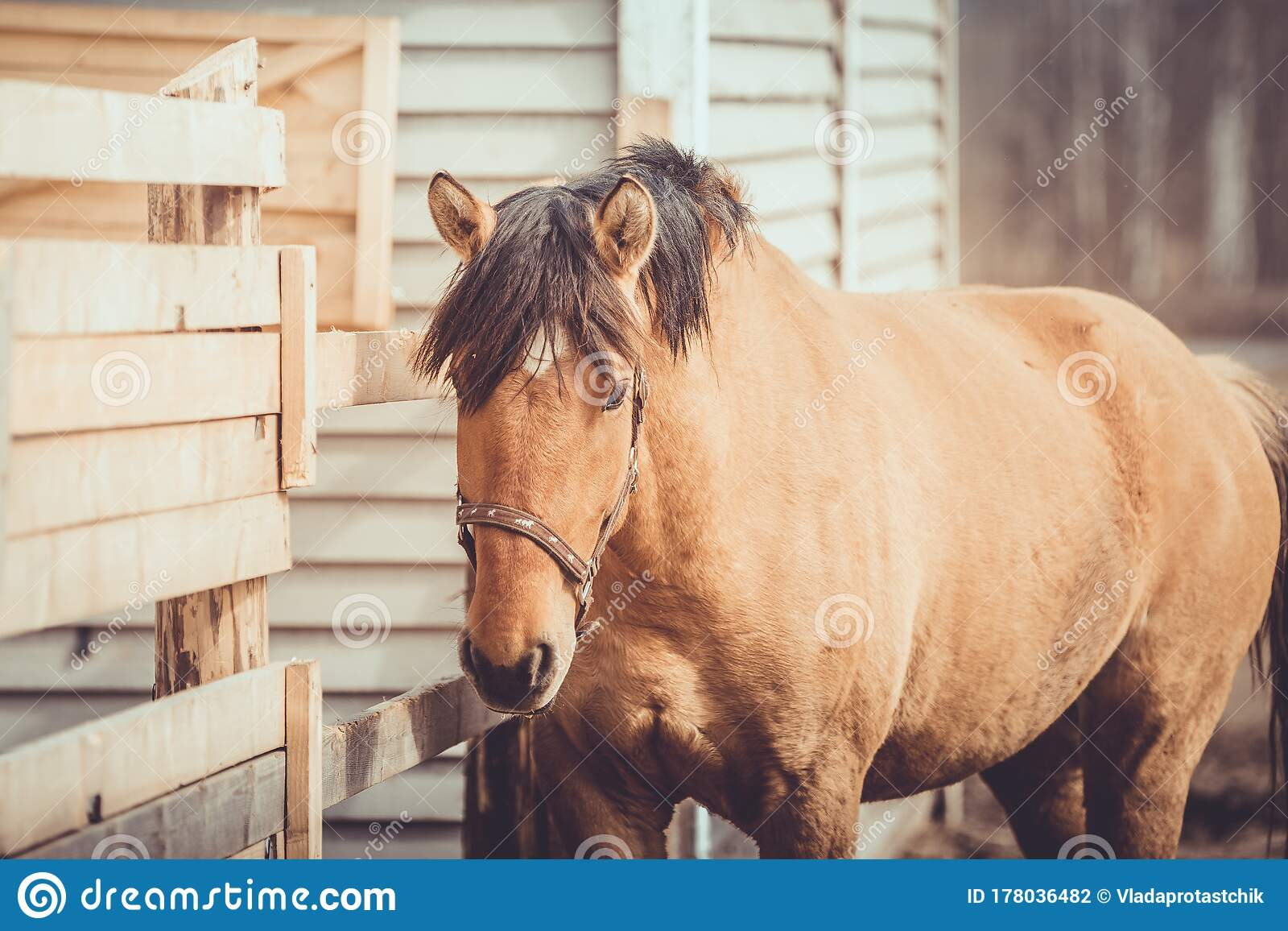 Young Buckskin Draft Horse In Halter On Paddock In Daytime Stock Photo Image Of Horse Mammal 178036482