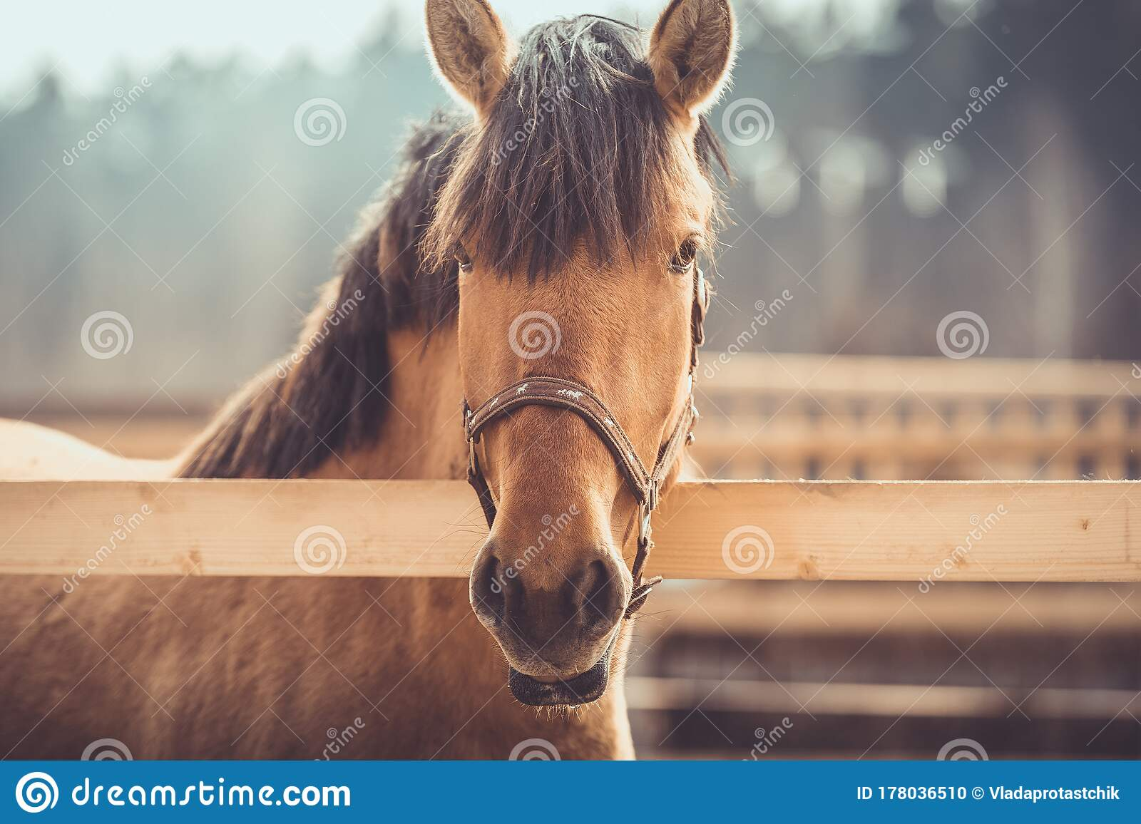 Young Buckskin Draft Horse In Halter On Paddock In Daytime Stock Photo Image Of Farm Horses 178036510