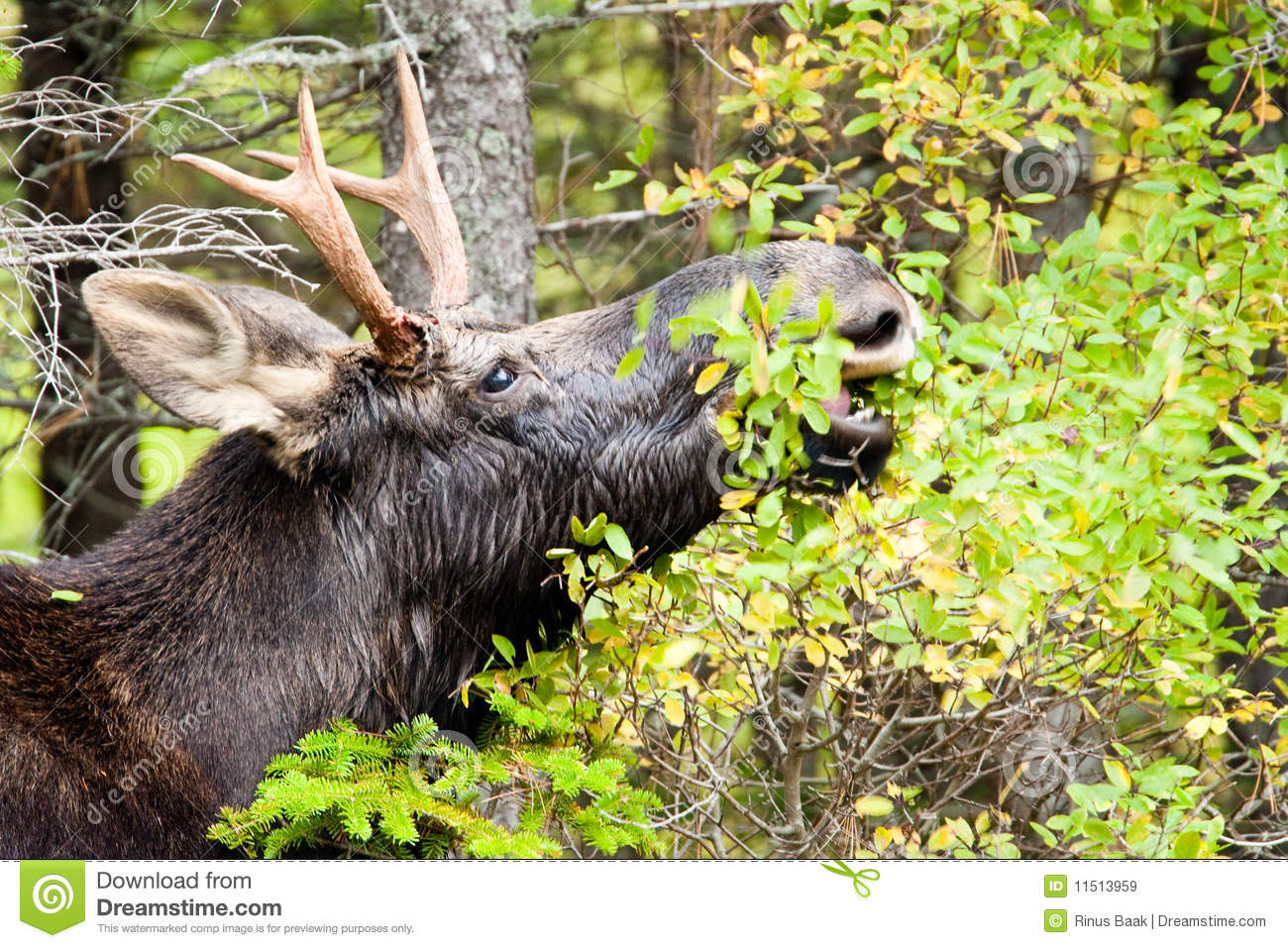 young bull moose royalty free stock images image 11513959