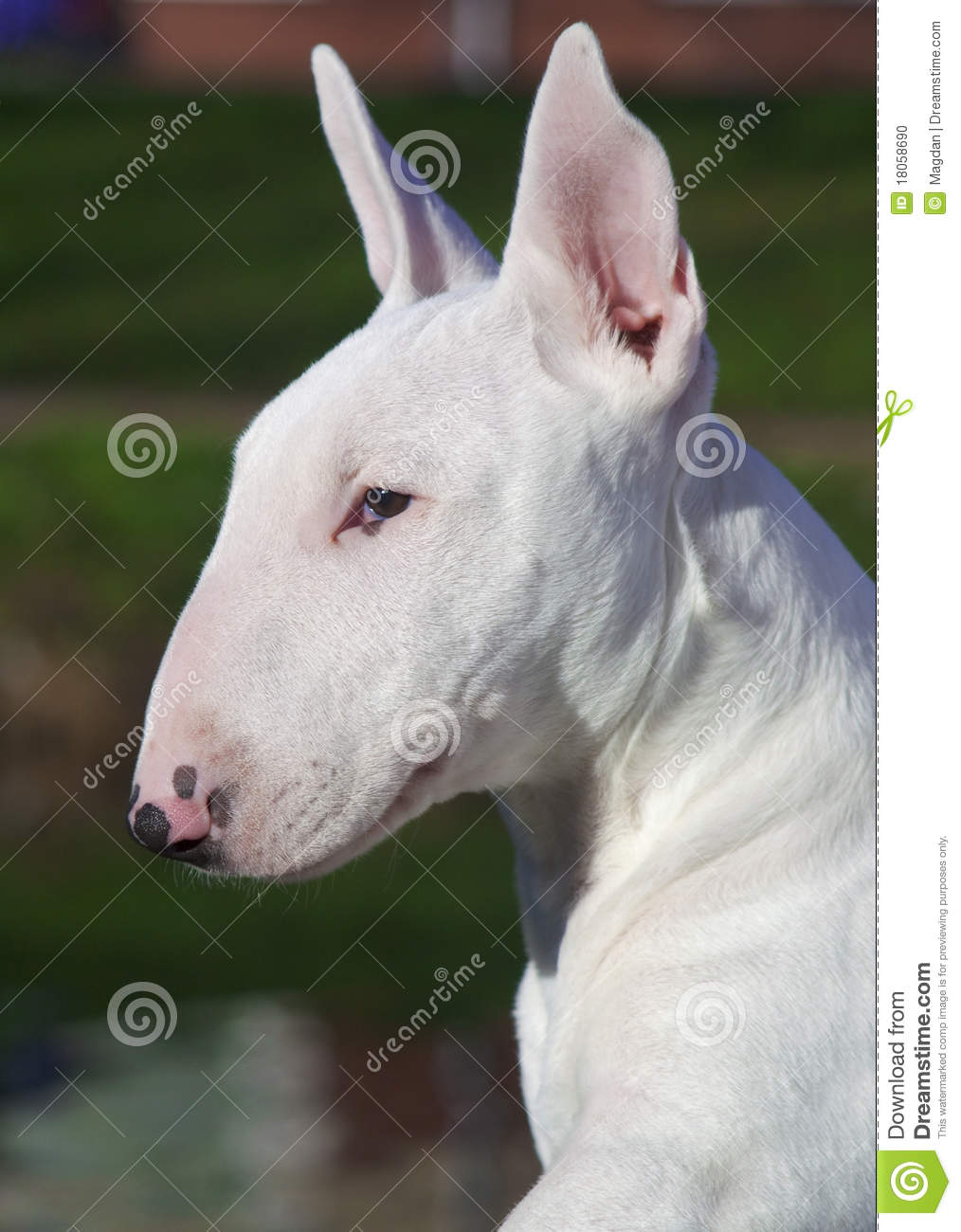 Young Bull Terrier.