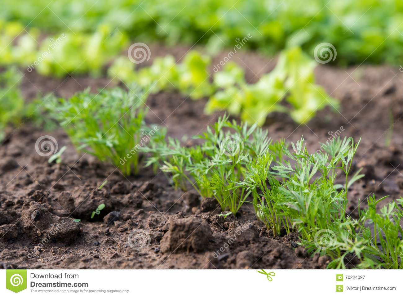 Young carrot plant sprouting out of soil on a vegetable bed