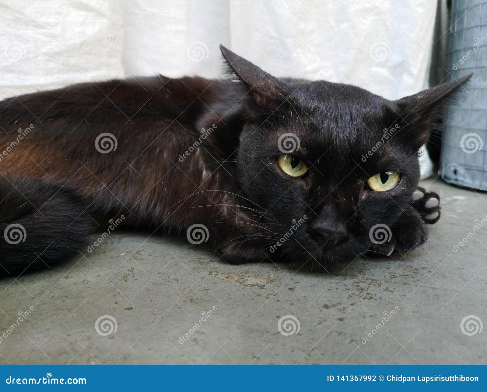 ํYoung cat has black hair, lying on the concrete floor. And staring with green eyes