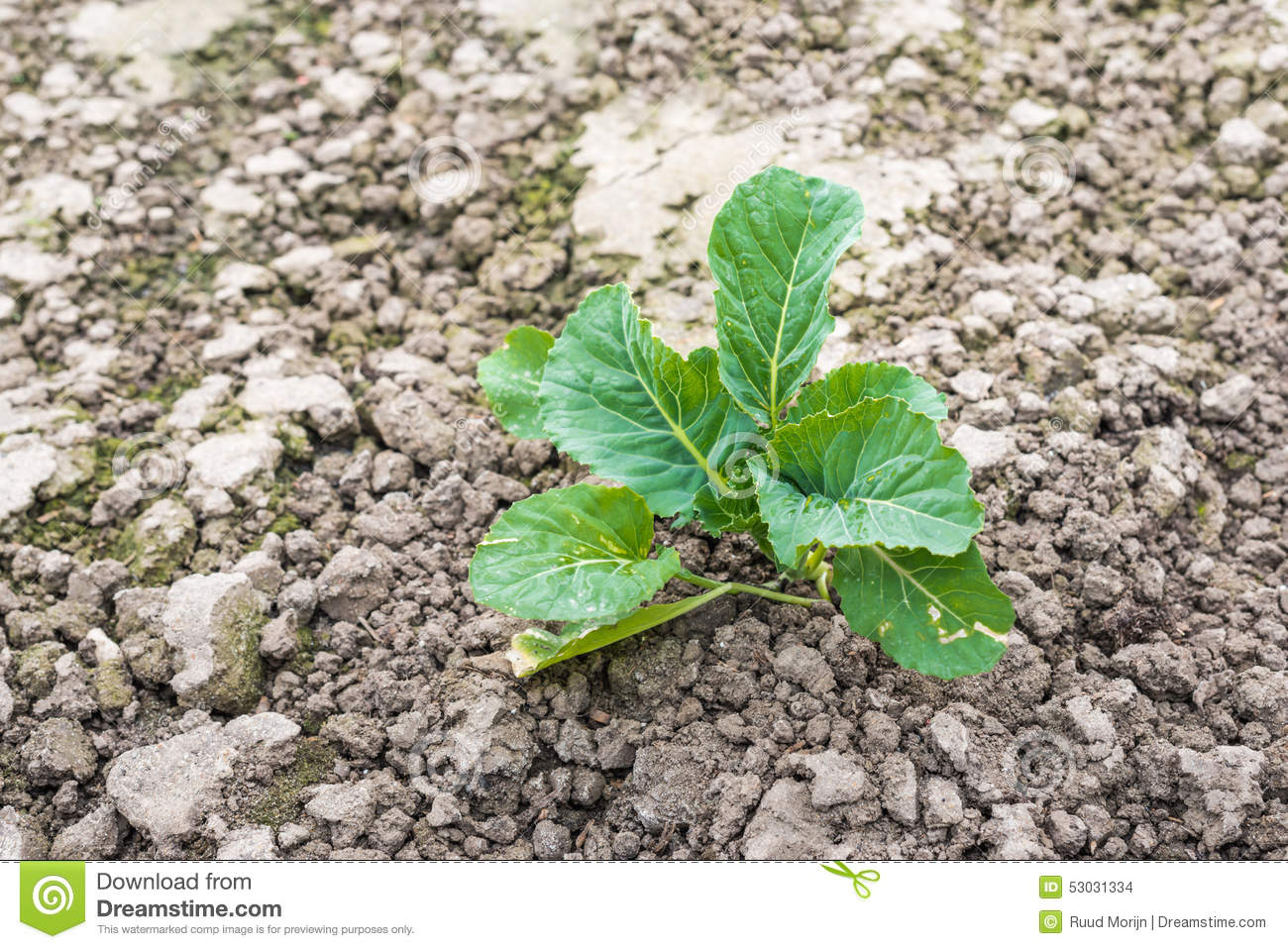 Young cauliflower plant in crumbled soil from close stock for Soil young s modulus