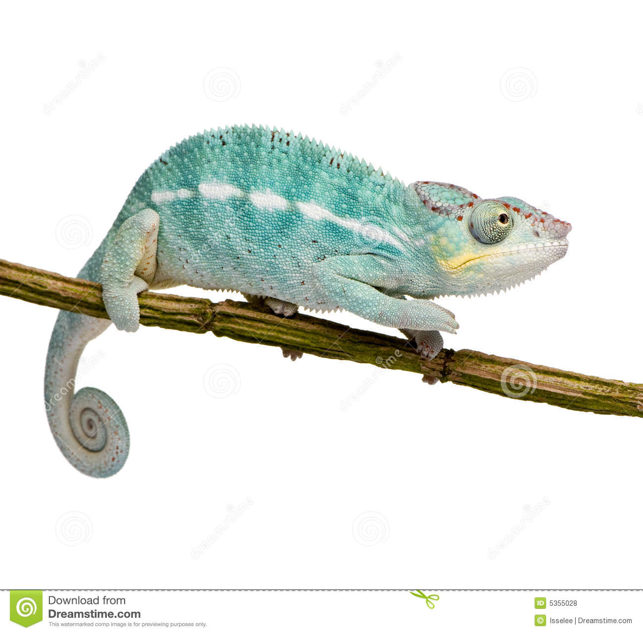 Young Chameleon Furcifer Pardalis - Nosy Be