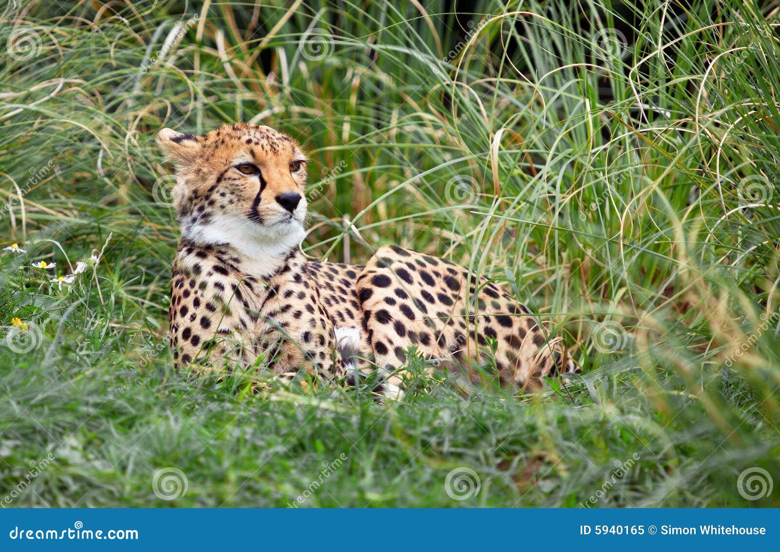 Young Cheetah Royalty Free Stock Photo - Image: 5940165