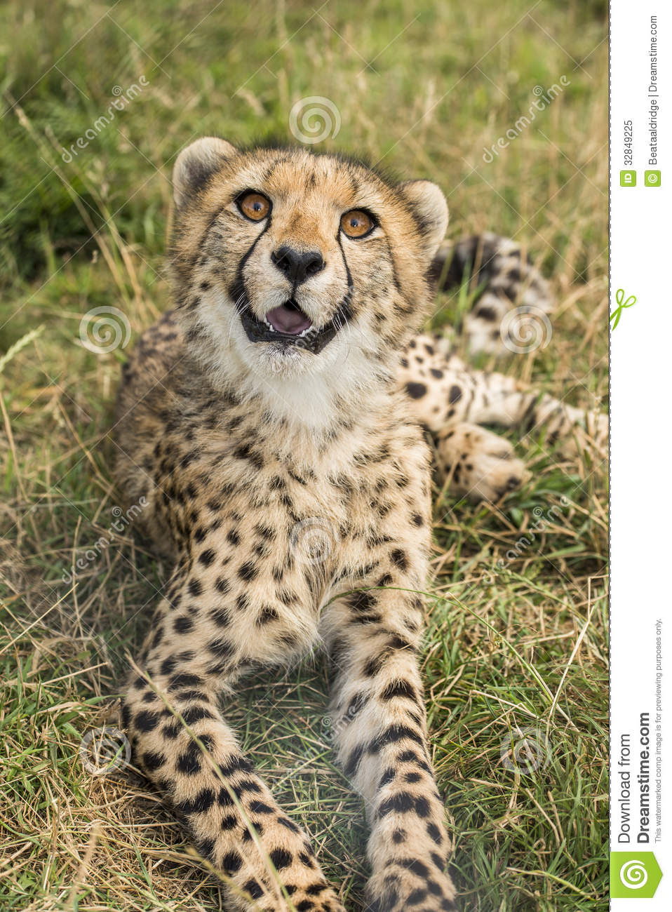 Young cheetah stock image. Image of outdoors, front, cape ...
