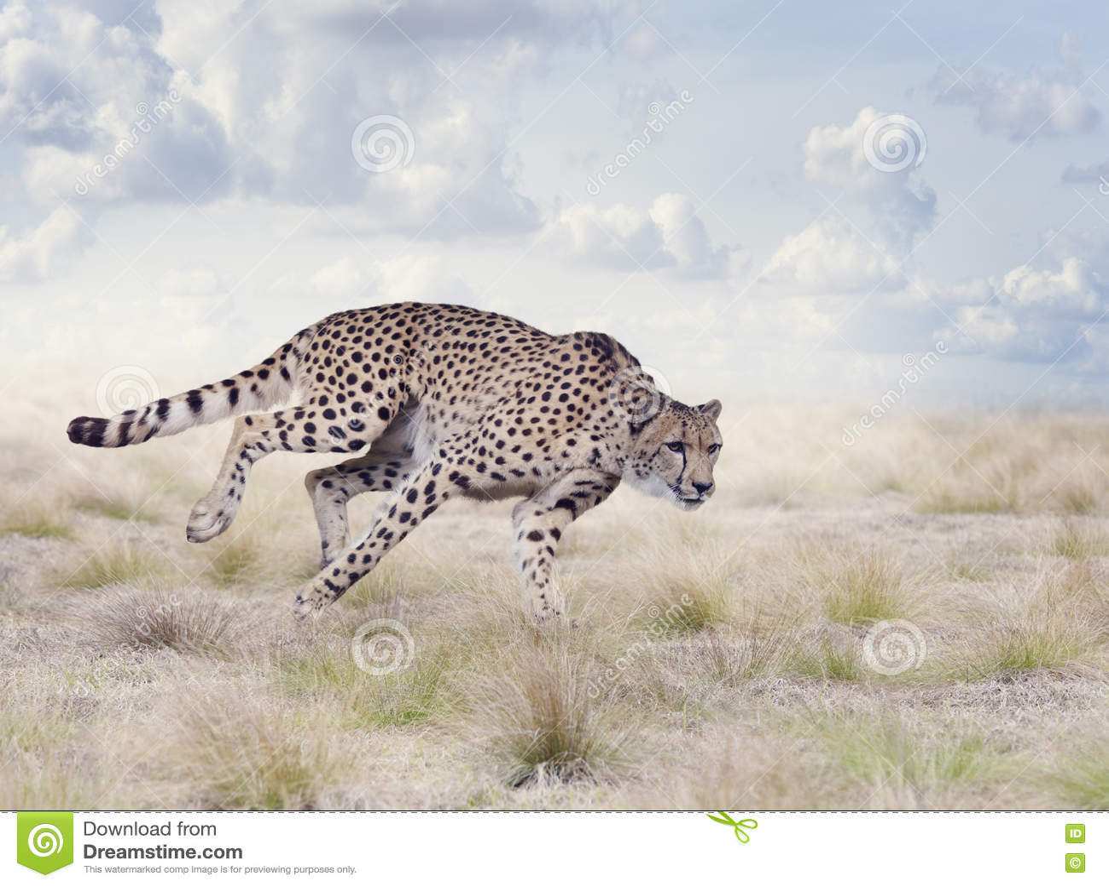 cheetah running fast royaltyfree stock photography