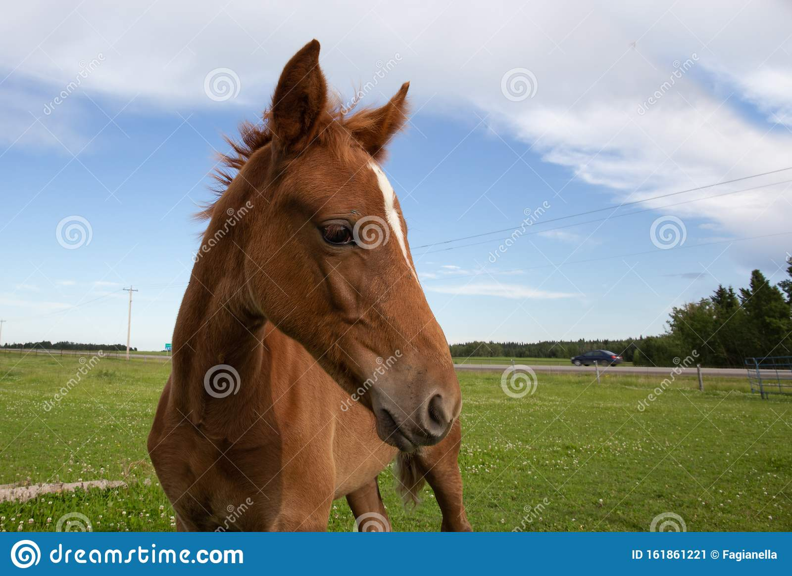Young Chestnut Baby Horse Or Foal In A Field Funny Perspective Stock Image Image Of Canada Equine 161861221