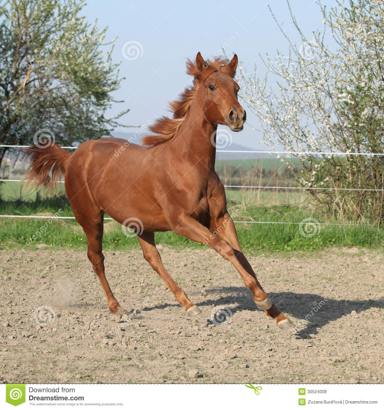 Young Chestnut Horse Running In Spring Stock Photo - Image ...