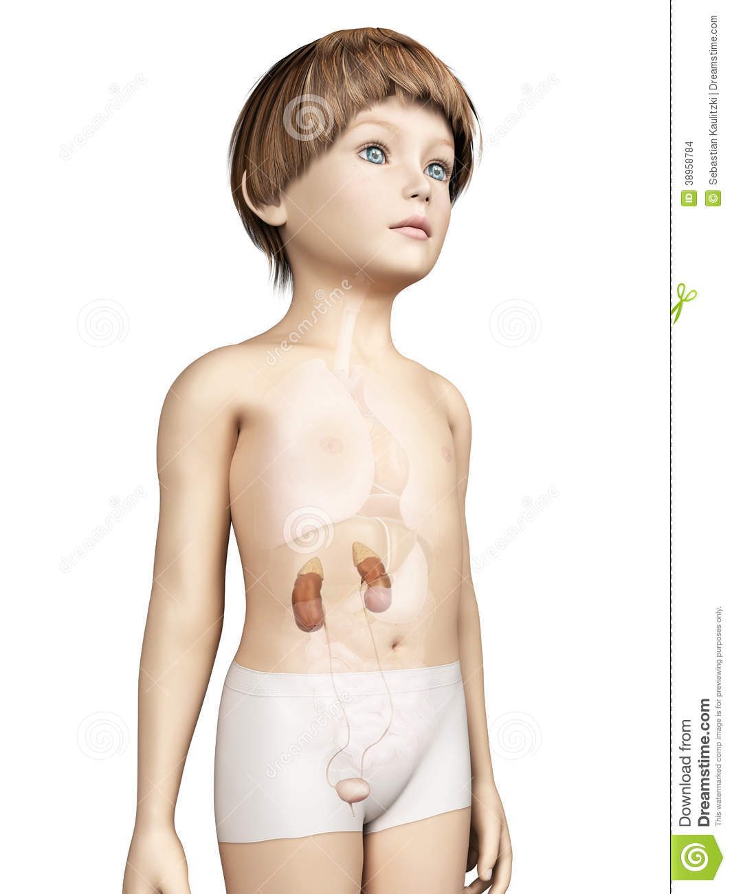 Stock Images Young Child Urinary System Anatomy Image38958784