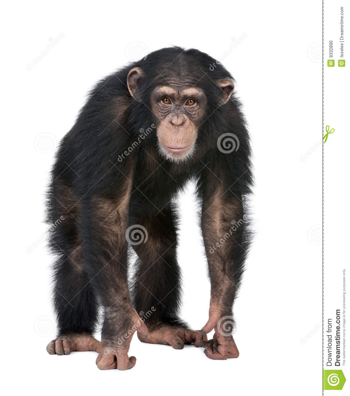 Young Chimpanzee Looking At The Camera - Simia Tro Stock Photo - Image ...