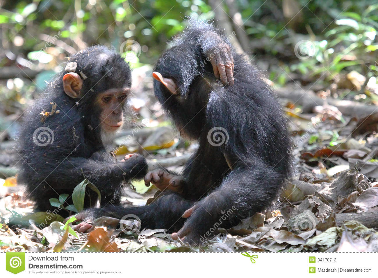 Young Chimpanzees Playing Stock Photos - Image: 34170713