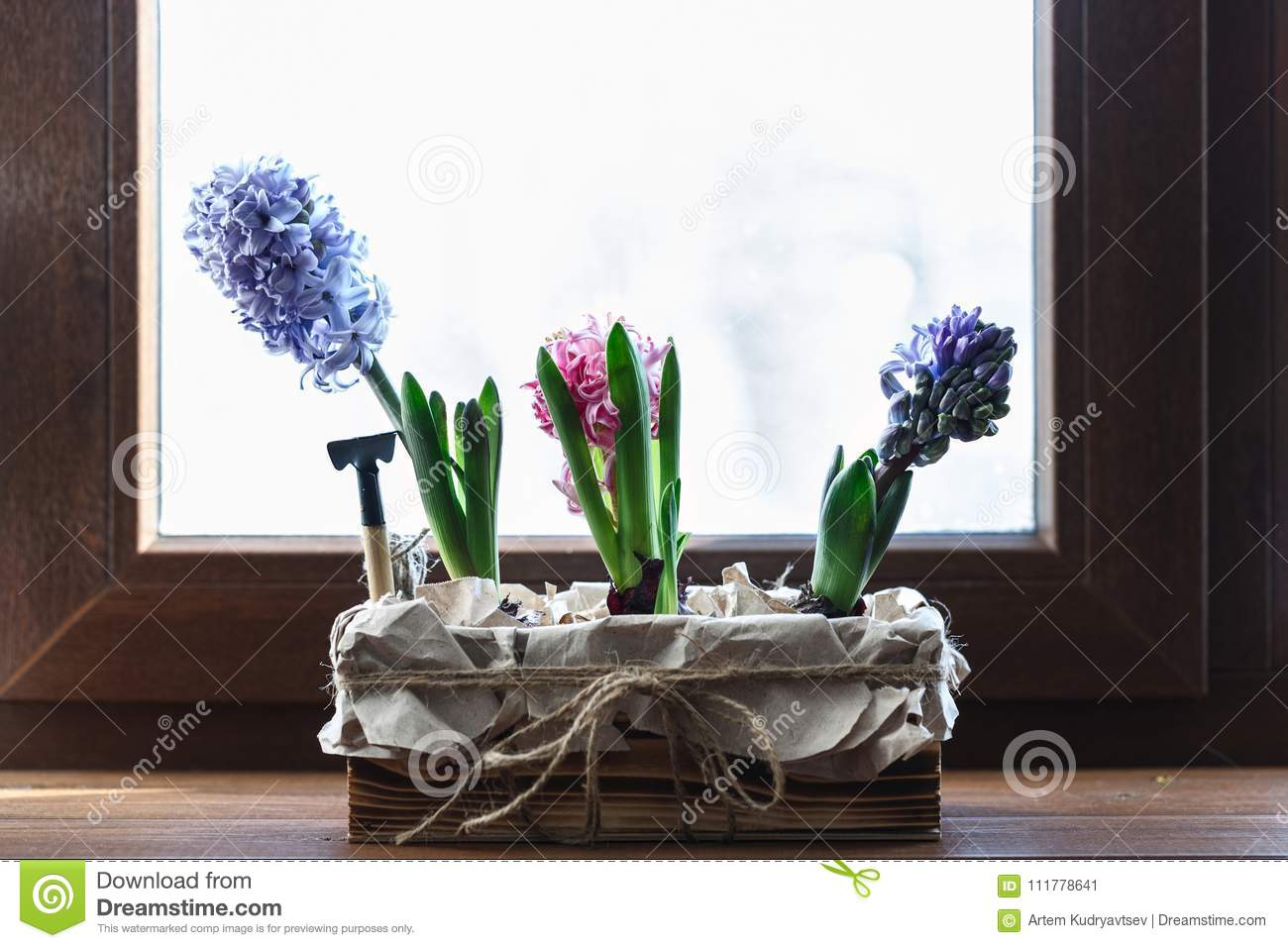 Young colored hyacinths in a box