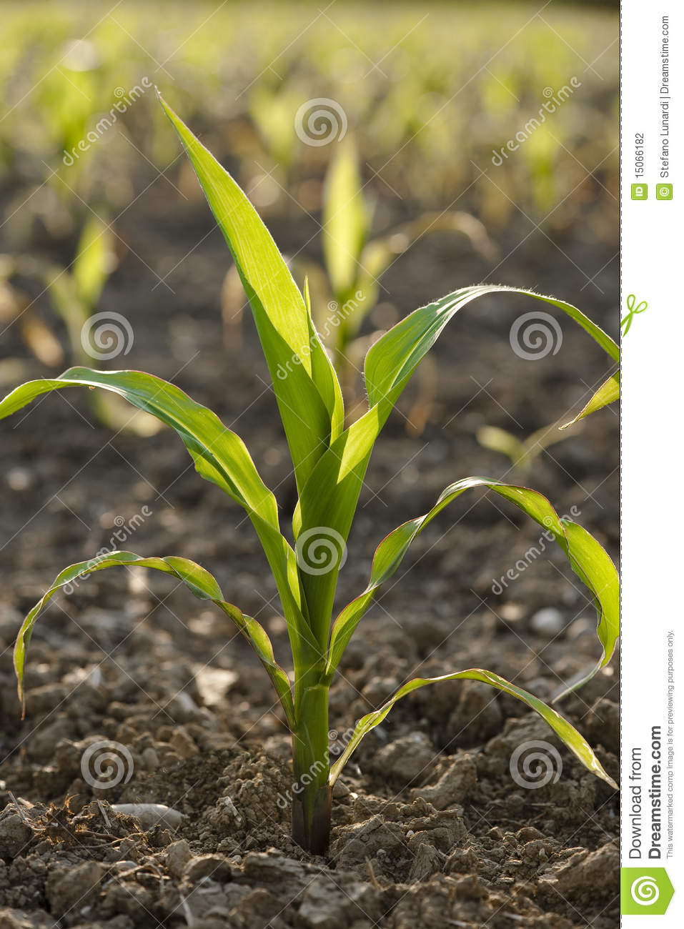 Young Corn Plant Stock Photo Image Of Plowed Vegetable