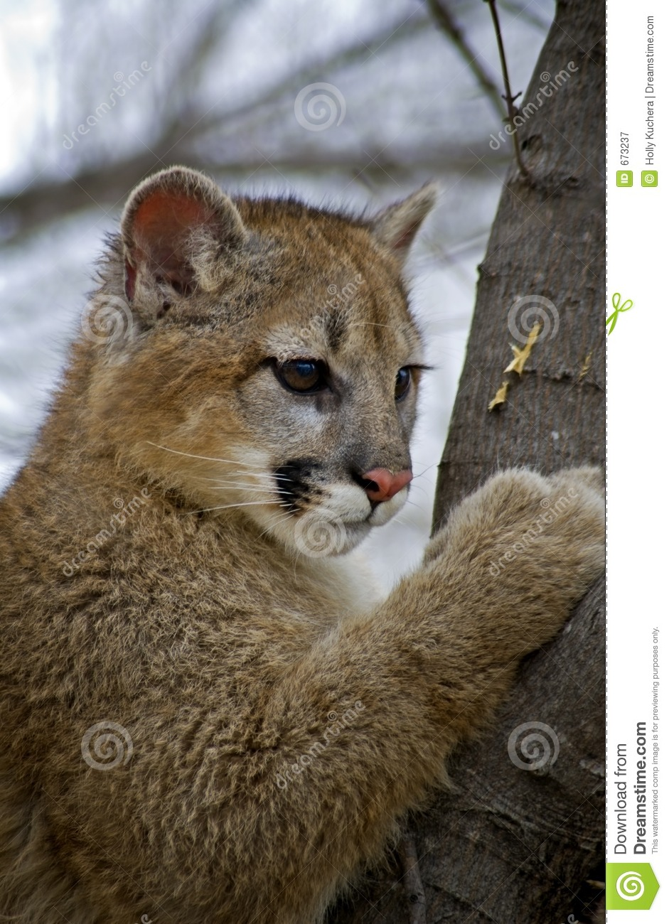 Young Cougar Felis Concolor In Tree Royalty Free Stock